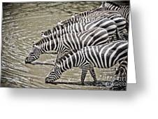 Several Thirsty Zebra Greeting Card