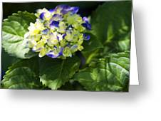 Shadowy Purple And White Emerging Hydrangea Greeting Card