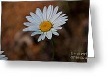 Shasta Daisies Greeting Card