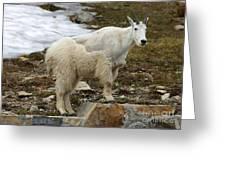 Shedding Mountain Goat Greeting Card
