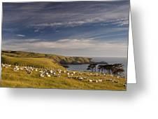 Sheep Grazing In Headland Greeting Card