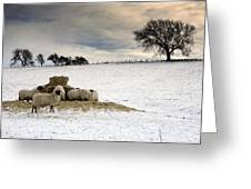 Sheep In Field Of Snow, Northumberland Greeting Card by John Short
