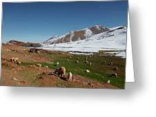 Sheep In The Atlas Mountains 02 Greeting Card