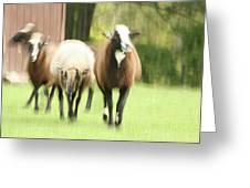 Sheep On The Run Greeting Card