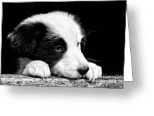 Sheepdog Puppy Looking Out Greeting Card by Rory Trappe