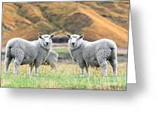 Sheeps Greeting Card by MotHaiBaPhoto Prints