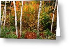 Shelburne Birches 2 Greeting Card