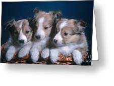 Sheltie Puppies Greeting Card by Photo Researchers, Inc.