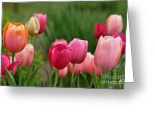 Sherbert Color Tulips Greeting Card