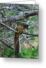 Shermans Fox Squirrel Greeting Card