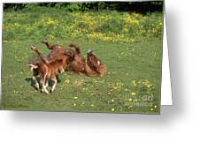 Shetland Pony And Foal Playing Greeting Card