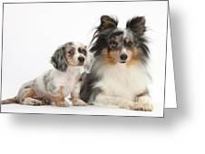 Shetland Sheepdog And Dachshund Puppy Greeting Card