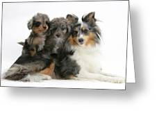 Shetland Sheepdog With Puppies Greeting Card