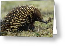 Short-beaked Echidna Tachyglossus Greeting Card