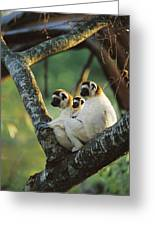 Sifaka Propithecus Sp Family Resting Greeting Card