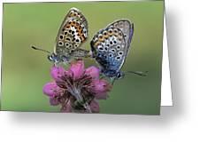 Silver-studded Blue Plebejus Argus Greeting Card