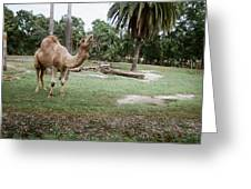 Singing Camel Greeting Card