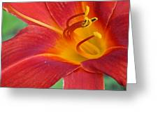 Single Red Lily Closeup Greeting Card