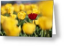 Single Red Tulip Among Yellow Tulips Greeting Card
