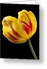 Single Yellow And Red Tulip Greeting Card
