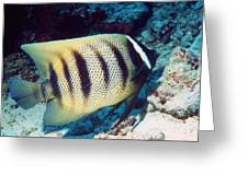 Six-banded Angelfish Greeting Card