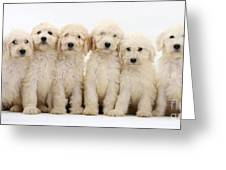 Six Labradoodle Pups Greeting Card