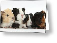 Six Young Guinea Pigs In A Row Greeting Card