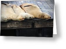 Sleeping Lions Greeting Card