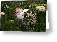 Sleepy Egret In Elderberry Greeting Card