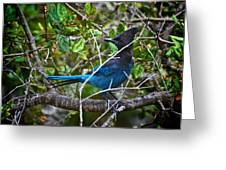 Small Blue Jay Of California Greeting Card
