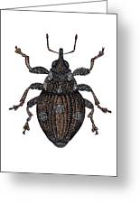 Small Nettle Weevil Greeting Card