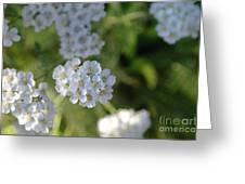 Small White Wildflowers  Greeting Card