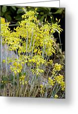 Small Yellow Onion (allium Flavum) Greeting Card
