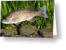 Smallmouth Bass Micropterus Dolomieu Greeting Card