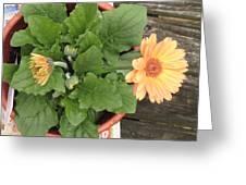 Smiling Orange Zerbera Flower Greeting Card