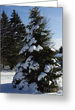 Snow Crusted Evergreen Greeting Card
