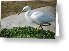 Snow Egret II Greeting Card