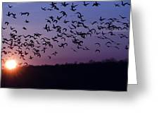 Snow Geese Migrating Greeting Card