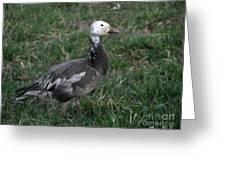 Snow Goose Blue Morph Greeting Card