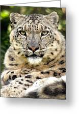 Snow Leopard Study Greeting Card