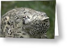 Snow Leopards Playing Greeting Card