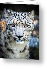 Snow Leopards Stare Greeting Card