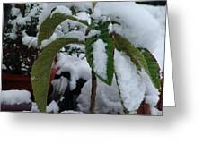 Snow Plant Greeting Card