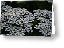 Snow Sport Yarrow Greeting Card