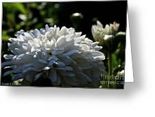 Snowball Dahlia Greeting Card