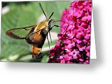 Snowberry Clearwing Moth Greeting Card