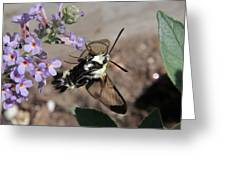 Snowberry Clearwing Moth Feeding Greeting Card