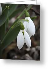 Snowdrops 2012 Greeting Card