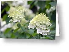 Snowflake Hydrangea 2 Greeting Card