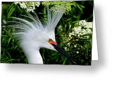 Snowy Egret With Breeding Plumage Greeting Card